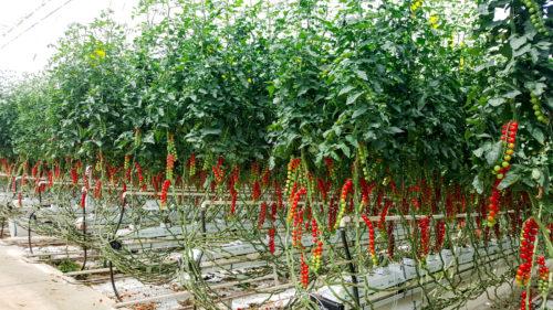 Culture de tomates cerises